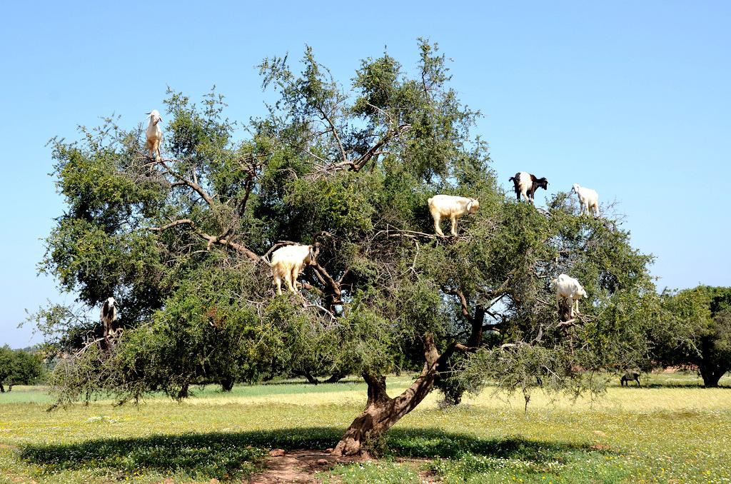 chevre-sur-arbres-arganier-essaouira-1492596476-1558699615